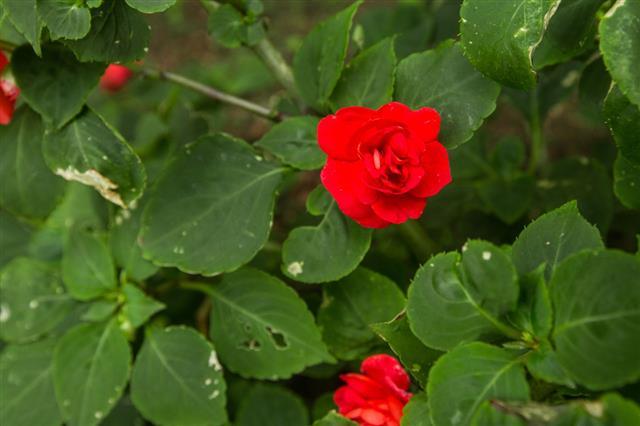 Rad Roses