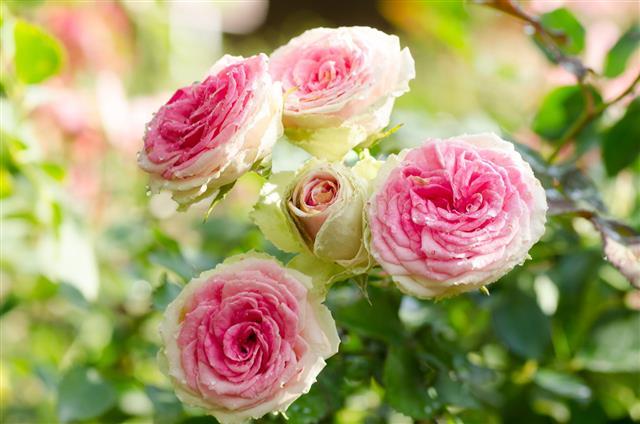 Pink Roses Flower In Spring