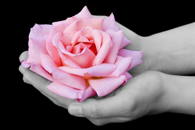 Pink Rose In Hands