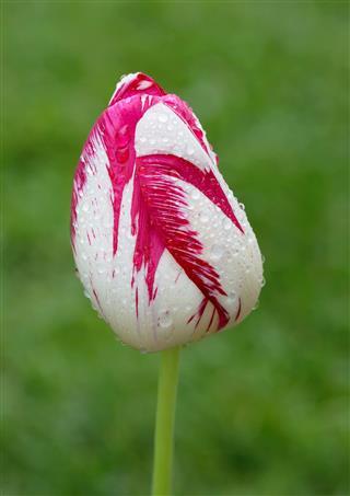 Tulip Sort Of Triumph