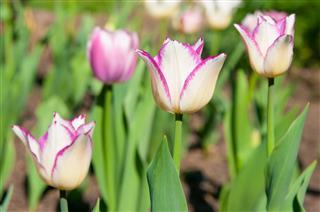 Tulip Grows In The Garden