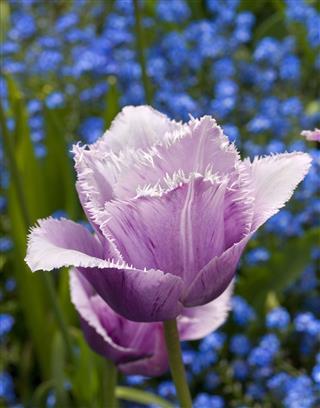 Fringed Violet Tulip
