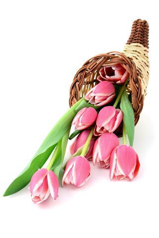 Pink Tulips In A Cornucopia Horn