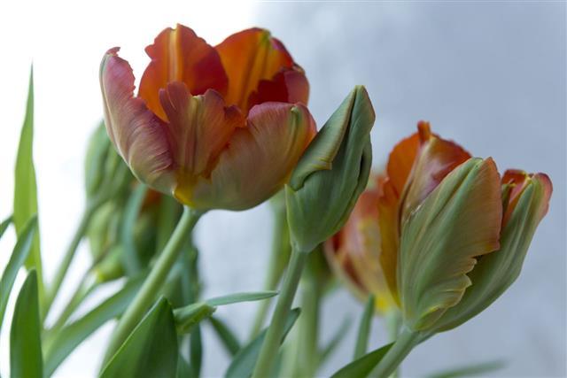Beautiful Spring Tulip Flowers