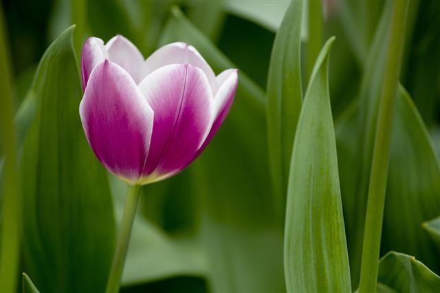 Closeup Of Purple And White Tulip