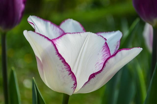 White Petals And Purple Edges Tulip