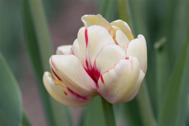 Tulip Magic