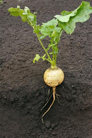 Naked Turnip