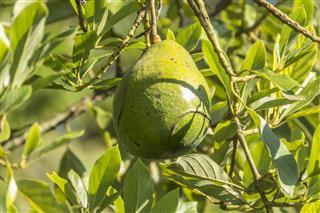 Avocado Fruit In Tree In Sri Lanka