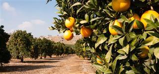 Raw Food Fruit Oranges