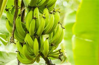 Fresh Green Plantain Banana Bunch