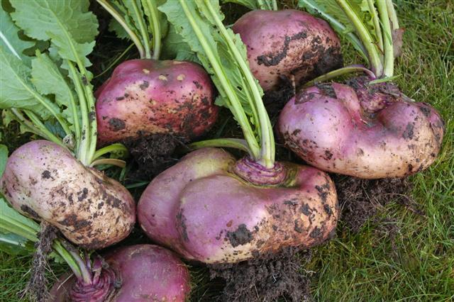 Freshly Picked Turnips