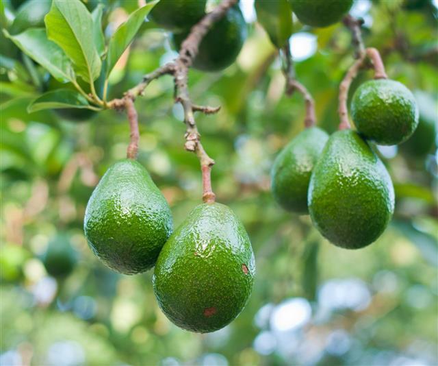 Avocado In The Tree