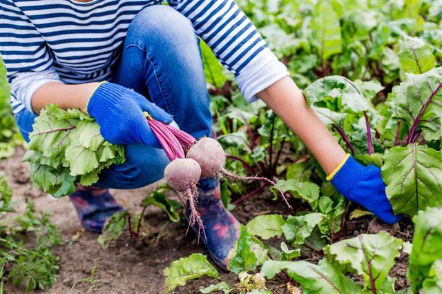 Harvesting Beet
