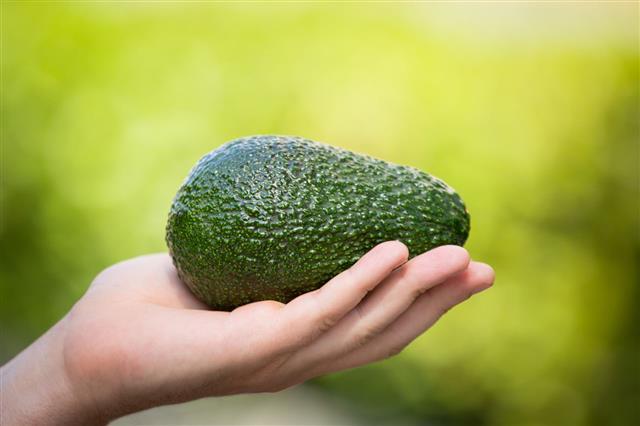 Hand Holding Hass Avocado