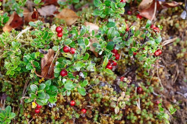 Cranberries Plant