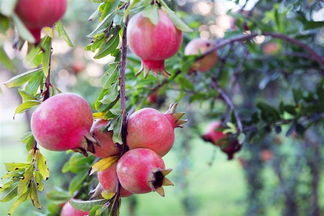 Pomegranates Tree