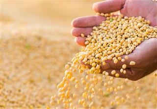 Soya Bean Seed In Hands