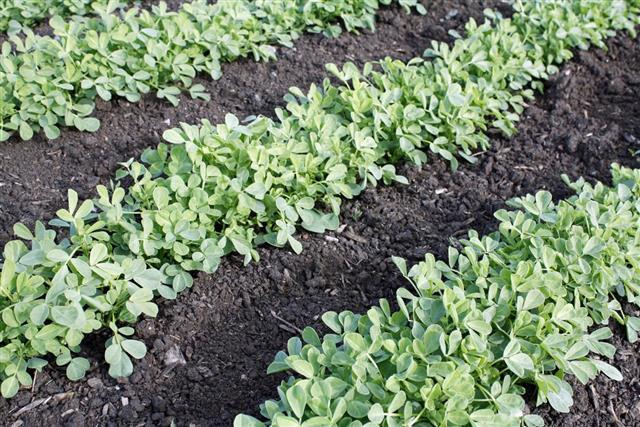 Fenugreek vegetable farming