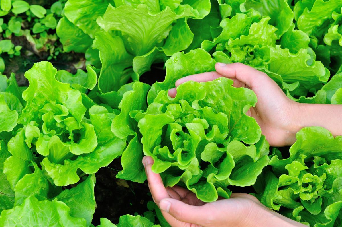 Lettuce plants in garden