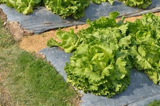The head of green lettuce