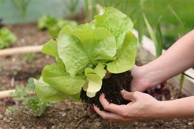 Gardening, Vegetable