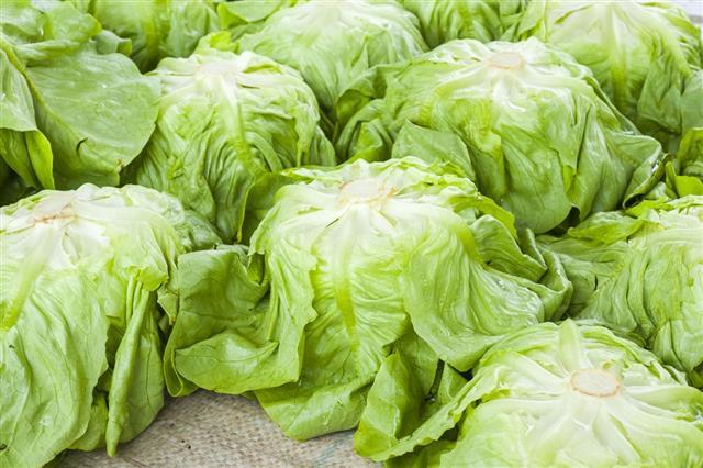 Fresh salad lettuce