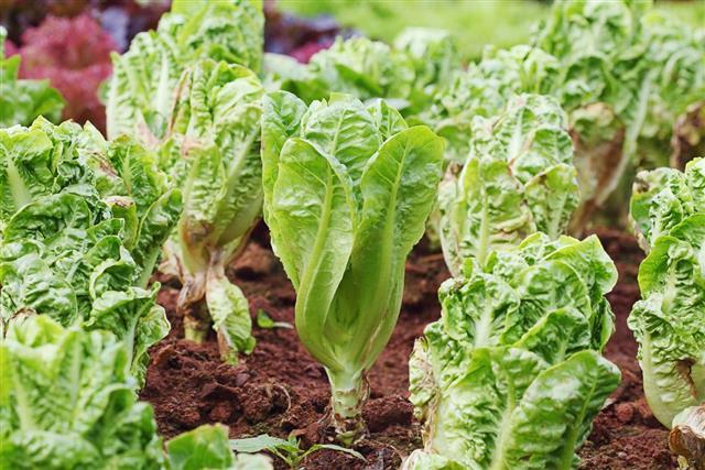 Vegetable, Lettuce