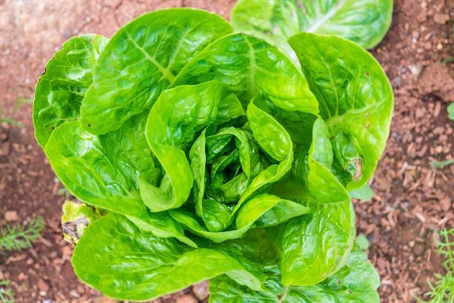 Big head lettuce green fresh