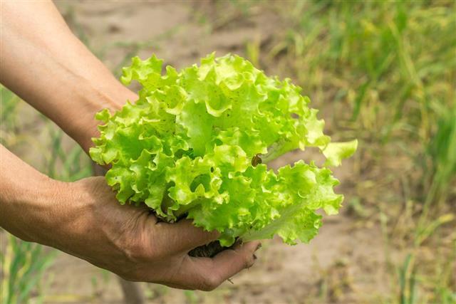Lettuce in hand. Hands gardener