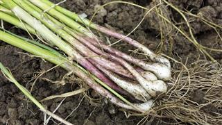 Scallions,Green onions