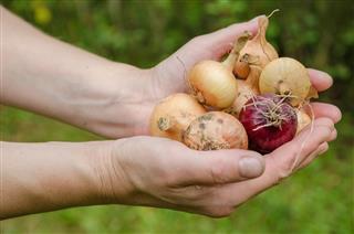 Onion garden vegetable