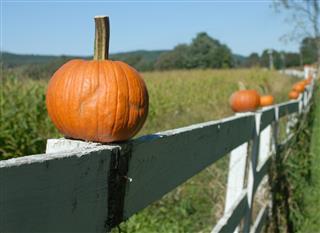 Pumpkins on a fence