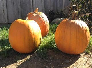 Pumpkin Fall Halloween Farm Garden
