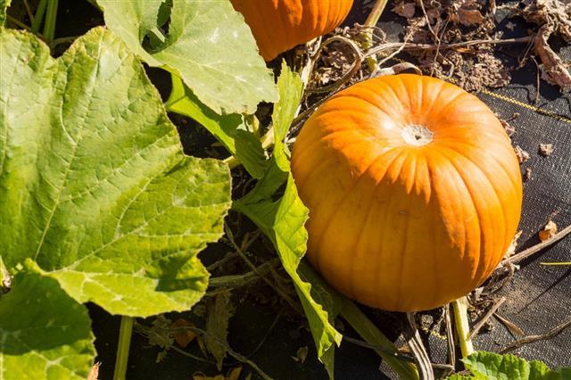 Orange pumpkin growing in the garden