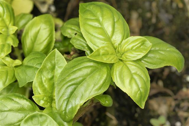 Delicious Baby Spinach