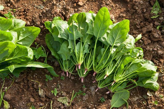 Spinach In Vegetable Garden