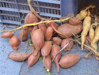 Sweet potato closeup