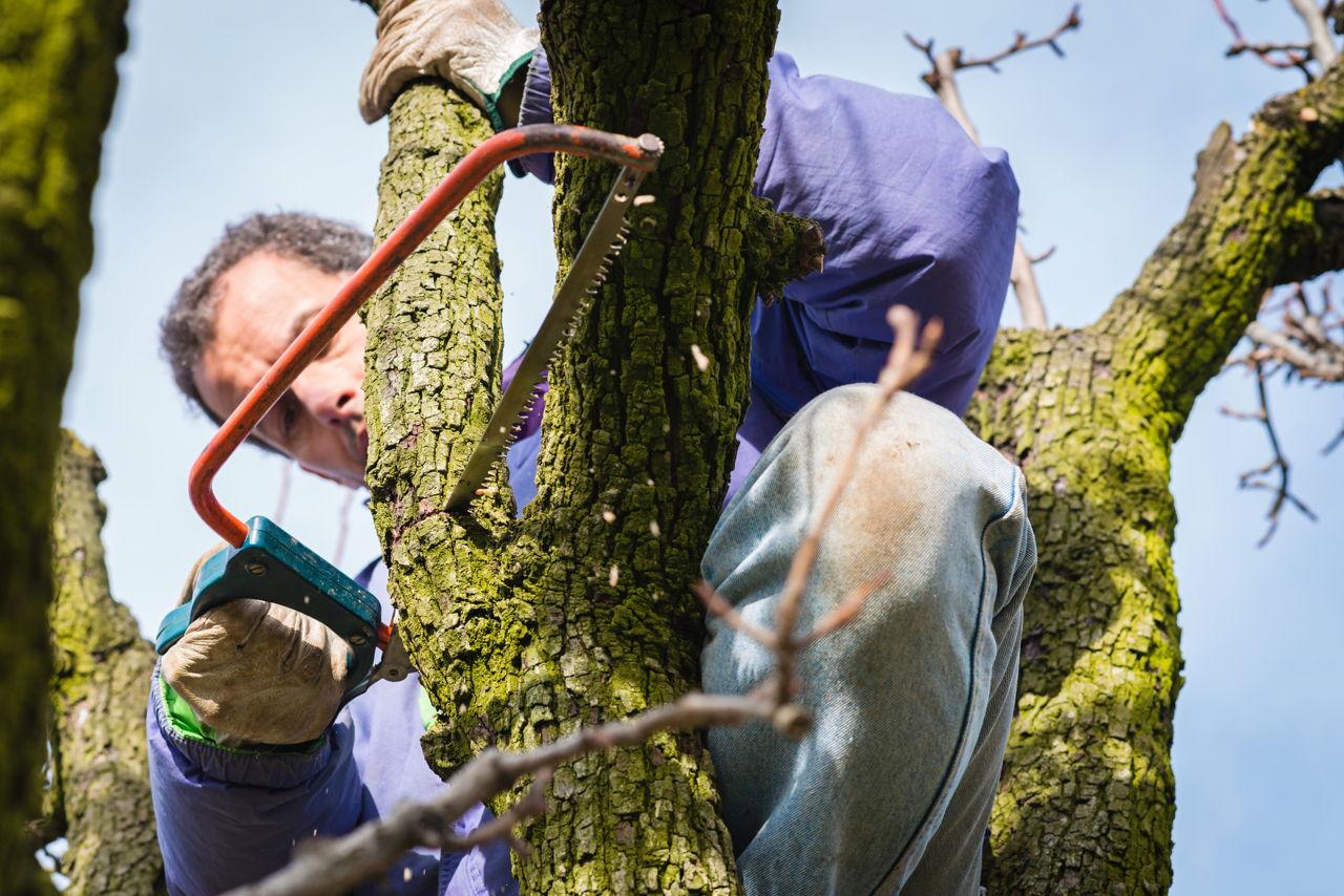 Bradford Pear Tree Pruning
