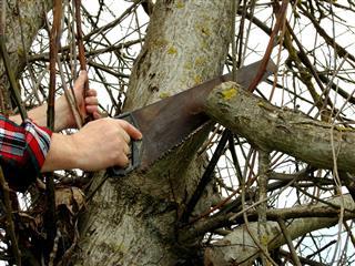 Man Pruning Tree Branch
