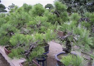 Bonsai In Humble Administrators Garden
