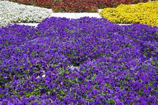 Pansies Flowers Garden