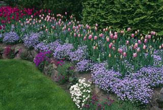 Purple Pink Tulips Butchart