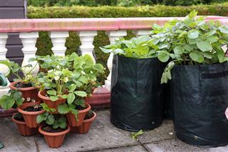 Potato And Strawberry Plants
