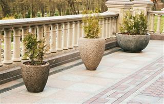Thujas In Concrete Pots