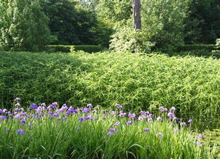 Iris And Bamboo