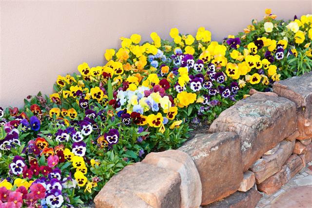 Pansy Flowers In Rock Garden