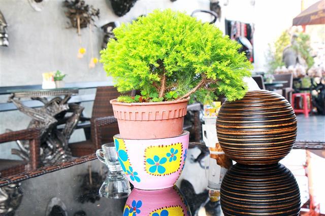 Pine Trees In Pots