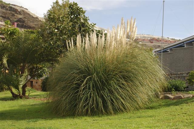 Cortaderia Selloana Plant