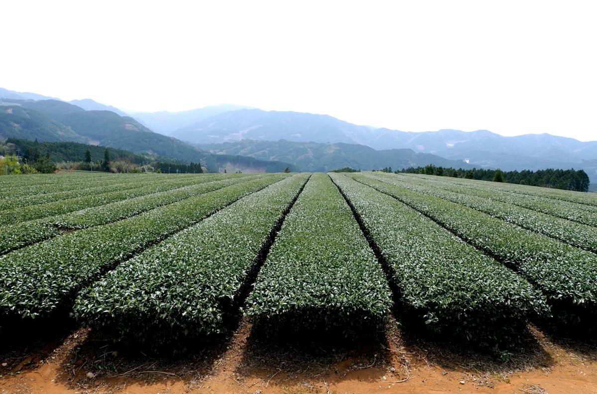 Green Tea Diet Patch